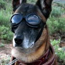 1200px german sheppard w doggles