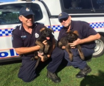 Latest QLD Police Dog Squad Recruits From Schutzshep Australia